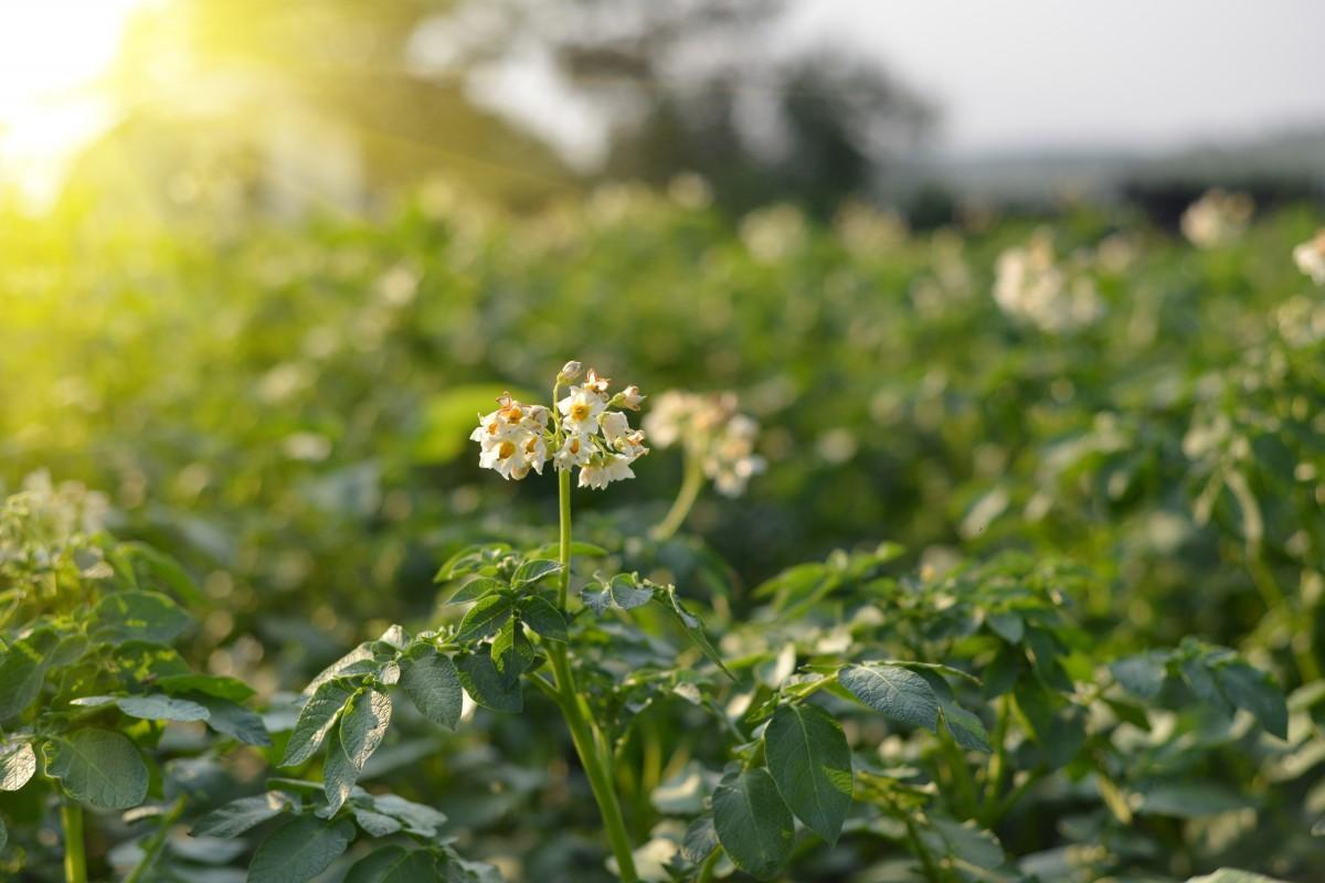 Ionisatie houdt aardappelen gezond